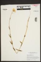 Sabatia brachiata image