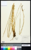 Image of Elymus semicostatum