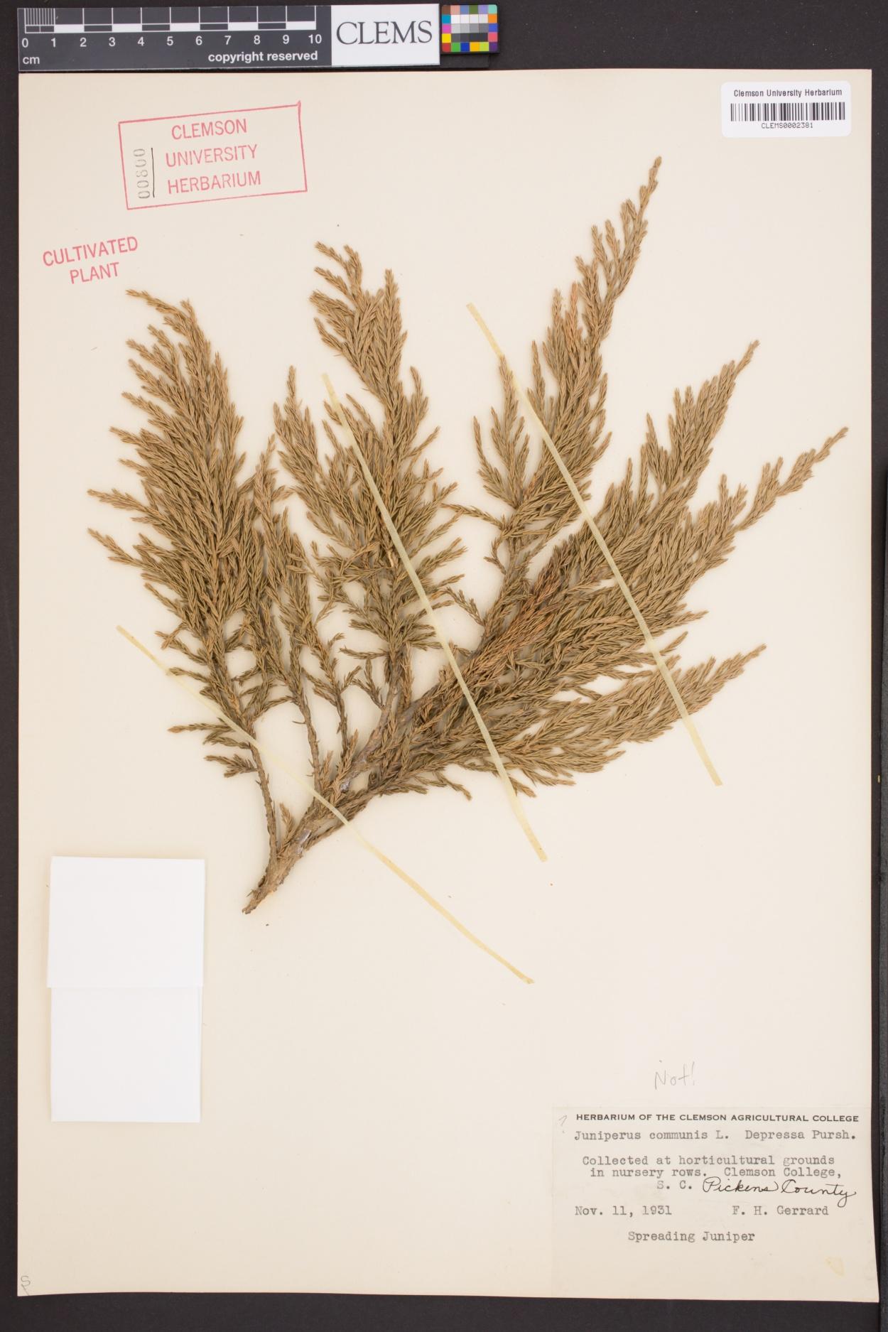 Juniperus image