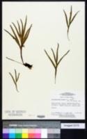 Image of Dicranoglossum furcatum