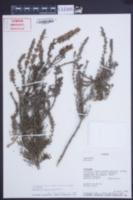 Image of Clinopodium fasciculatum