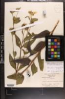 Image of Helianthus tracheliifolius