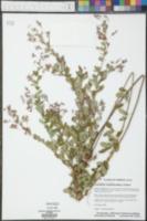 Lespedeza x manniana image