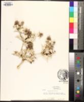 Eryngium maritimum image