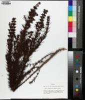 Hypericum chapmanii image