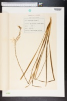 Image of Anthericum liliago