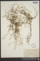 Image of Pectis leptocephala
