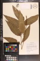 Cyclodium meniscioides image