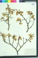 Image of Prunus nigra