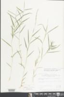 Muhlenbergia schreberi image