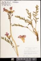 Image of Incarvillea delavayi