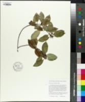 Image of Pittosporum tenuifolium
