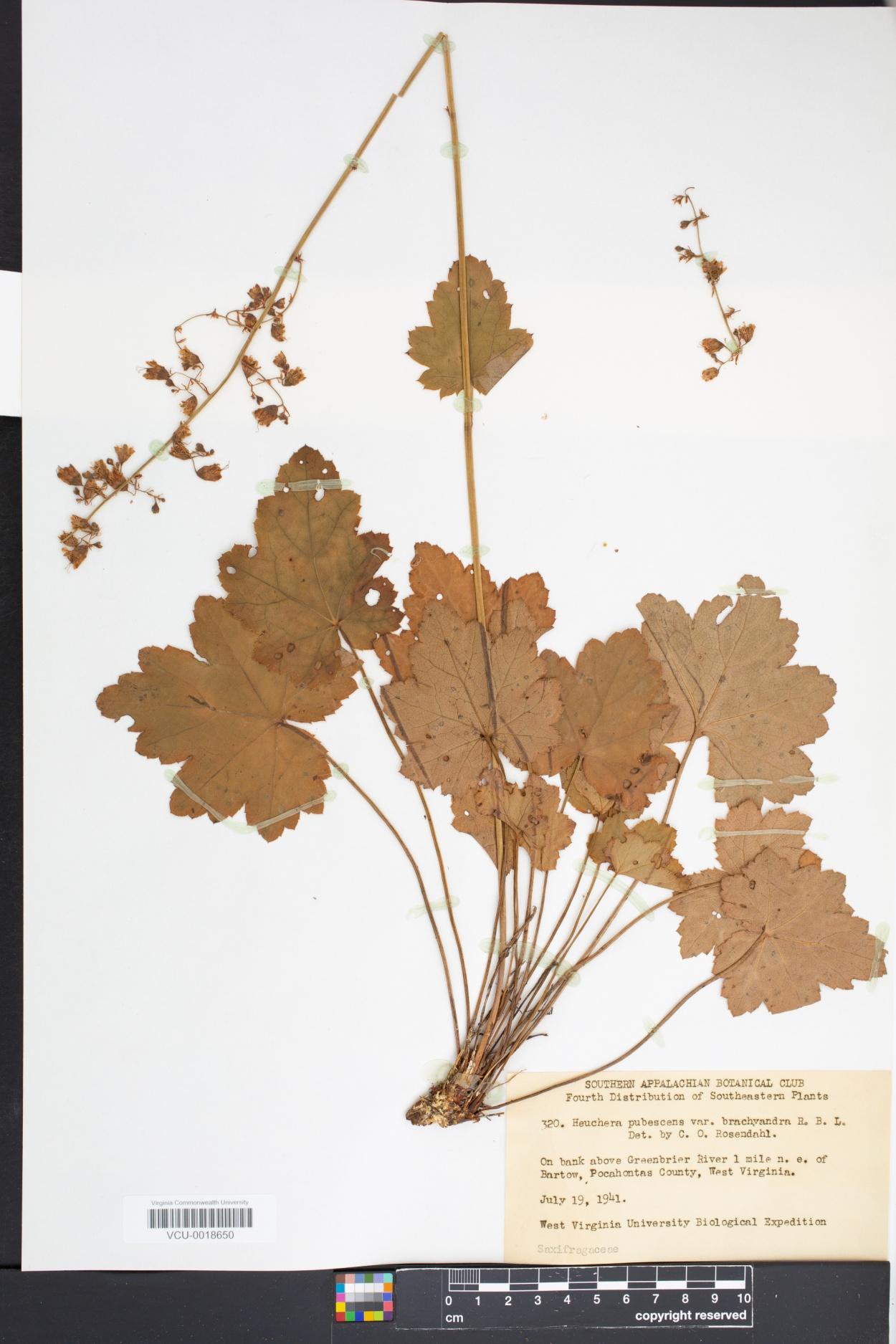 Hydrangea pubescens image