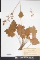 Image of Hydrangea pubescens
