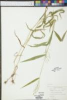 Panicum yadkinense image