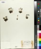 Image of Eritrichium elongatum