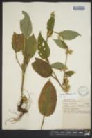 Solidago grandiflora image
