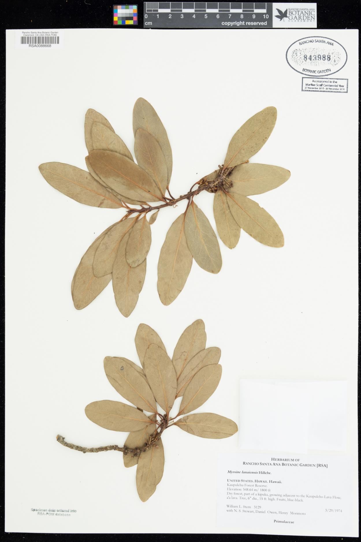 Myrsine lanaiensis image