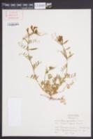 Vicia grandiflora image