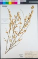 Image of Cytisus multiflorus