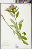 Amsonia tabernaemontana var. tabernaemontana image