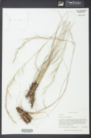 Image of Aristida rhizomophora