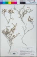 Frankenia palmeri image