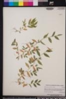 Oplismenus burmannii image