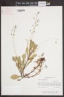 Samolus ebracteatus image