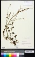 Rumex scutatus image