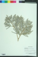 Image of Fokienia hodginsii
