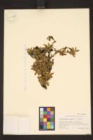Image of Arctostaphylos alpinus