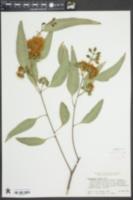 Image of Eucalyptus rudis