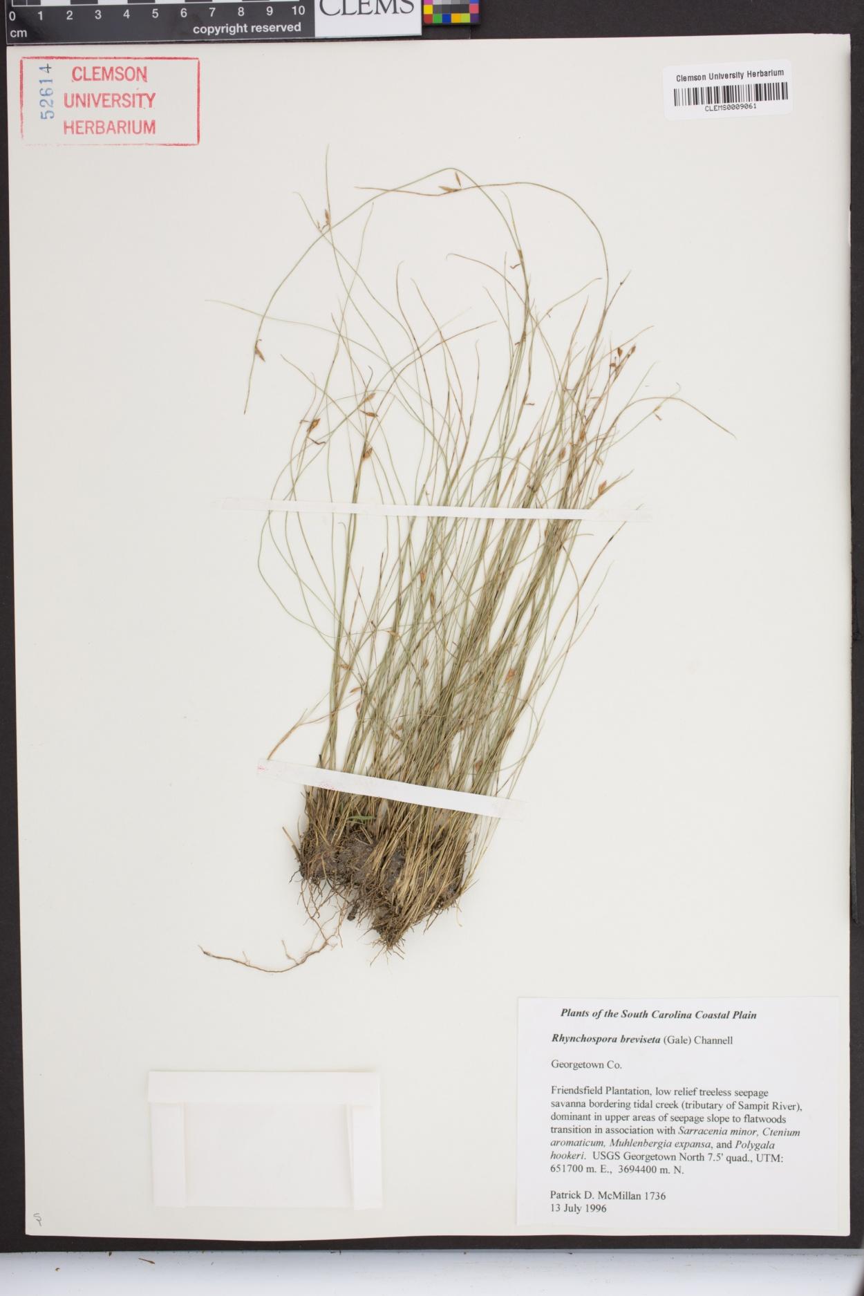 Rhynchospora galeana image