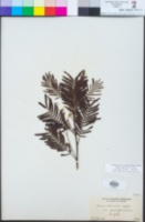 Image of Acacia irrorata