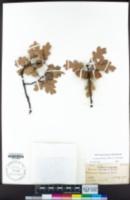 Quercus garryana var. semota image