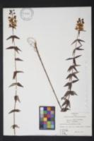 Image of Lysimachia asperulaefolia