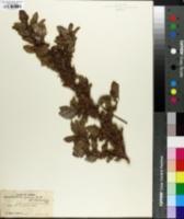 Image of Malachra urens