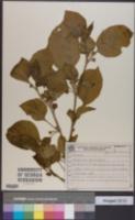 Image of Athenaea picta