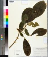 Image of Dendropanax laurifolius