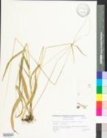 Brachyelytrum septentrionale image