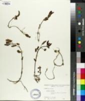 Image of Phlomis tuberosa