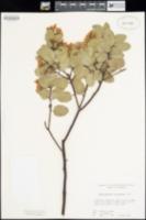 Arctostaphylos glandulosa subsp. glandulosa image