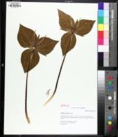 Image of Trillium viridescens