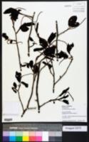 Image of Coccoloba tiliacea