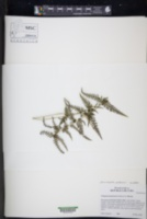 Amauropelta piedrensis image