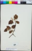Crataegus mollis image