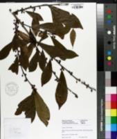 Image of Lindera chienii