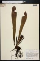 Image of Sarracenia x swaniana