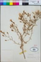 Stephanomeria parryi image